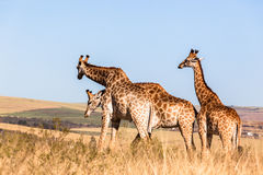 Three Giraffes Together Wildlife Animals Stock Images