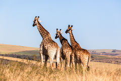 Three Giraffes Together Wildlife Animals Royalty Free Stock Photography