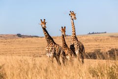 Three Giraffes Together Wildlife Animals royalty free stock photo