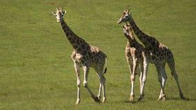 Three giraffes walk Royalty Free Stock Photos