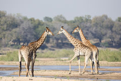 Three giraffes walking by a river Royalty Free Stock Images