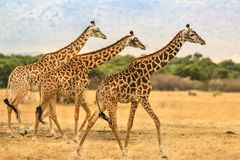 Three giraffes. Are walking in the savannah Royalty Free Stock Images