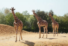 Three giraffes in the wild Royalty Free Stock Images