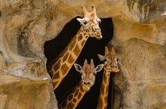 Three Giraffes Stock Images