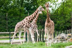 Three giraffes Stock Photography