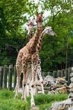 Three giraffes Royalty Free Stock Image