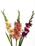Three gladiolus. On white background, isoled Stock Photo