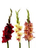 Three gladiolus. On white background, isoled Stock Images