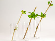 Three glasses with hydrangea cuttings Stock Image