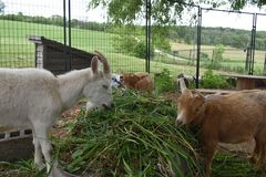 Three goat friends sharing a salad bar of grass on a farm in rural Wisconsin in summer royalty free stock photos