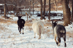 Three goat walk Stock Photos