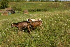 Three goats Stock Image