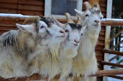 Three goats Royalty Free Stock Image