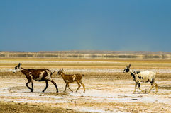 Three Goats in a Desert Stock Images