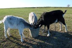 Three goats drinking water from the bucket Royalty Free Stock Image