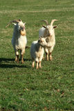 Three goats in a field Stock Photo