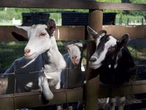 Three Goats Looking Through the Fence. Three goats look through their fence with the middle one striking a goofy pose and sticking it's tongue out. Enjoying the Royalty Free Stock Photo
