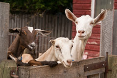 Three goats looking over a fence stock photography