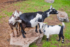 Three goats in pasture Stock Image