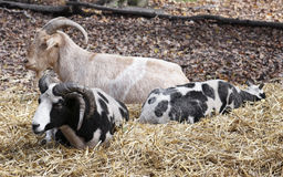 Three goats resting Royalty Free Stock Photography