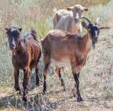 Three goats Royalty Free Stock Photo
