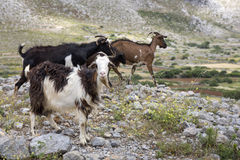 Three goats, seen in Greece Stock Images