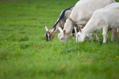 Three goats standing and eating green grass at rural meadow stock photo
