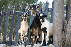 Three goats. Standing on the rocks on the background of the fence Stock Photos