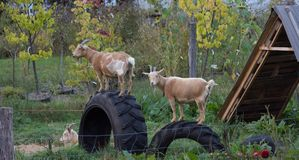 Three Goats. Two goats standing on tires shown in profile. Both are facing left with one looking at the camera Royalty Free Stock Images