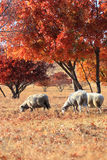 Three goats under maple Stock Images