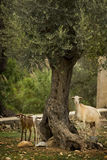 Three goats under a tree Royalty Free Stock Image