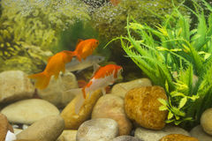 Three gold fish in aquarium colourfull water stock image
