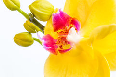 Three gold orchid flowers with stem on white background Royalty Free Stock Photos