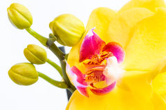 Three gold orchid flowers with stem on white background Royalty Free Stock Photography