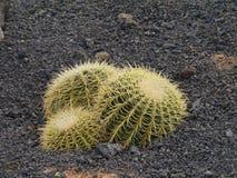 Three Golden ball cacti Royalty Free Stock Photo