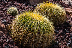 Three Golden Barrel Cactus Plants. A group of three Golden Barrel cactus plants stock image