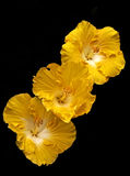 Three golden hibiscus flowers Royalty Free Stock Image
