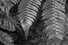 Tree golden leaves of a fern in black and white royalty free stock image
