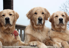 Three Golden Retriever dogs Royalty Free Stock Images