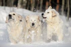 Three golden retriever dogs running outdoors Royalty Free Stock Photos