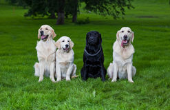 Three golden retriever and one labrador Stock Photo