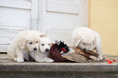 Three golden retriever puppies with hunted pheasant Royalty Free Stock Image