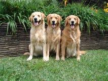 Three Golden Retrievers. In a frontyard stock photo