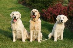 Three Golden Retrievers Royalty Free Stock Photography