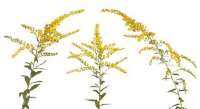 Three Goldenrod Stems on White. Like three kings, these vibrant colored goldenrood flowers stand together on a white background stock photo