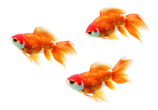 Three Goldfish. Fan tail goldfish - isolated object Royalty Free Stock Photography