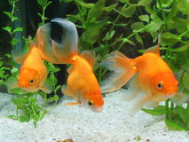 Three Goldfish in Aquarium Stock Photos