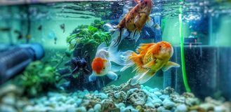Three goldfish in the aquarium stock photo