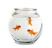 Three Goldfish in a Bowl Royalty Free Stock Photos