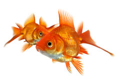 Three goldfish isolated on white Royalty Free Stock Photos